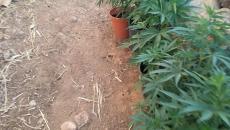 زراعة قنب مخدر.jpg