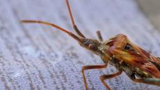 حشرة البق.jpg