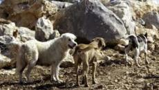 كلاب ضالة