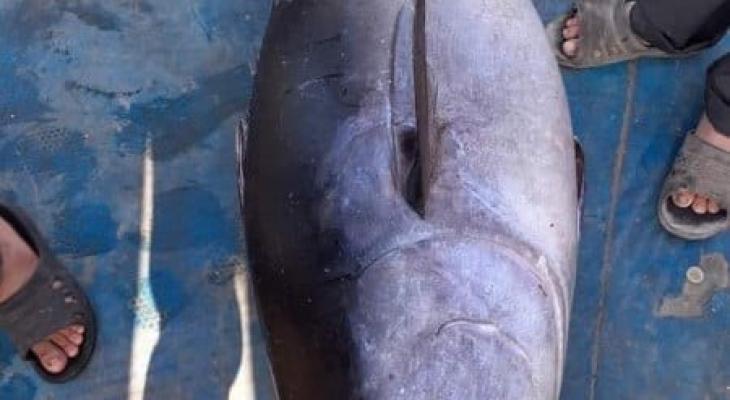 سمكة تونا ضخمة.jpg