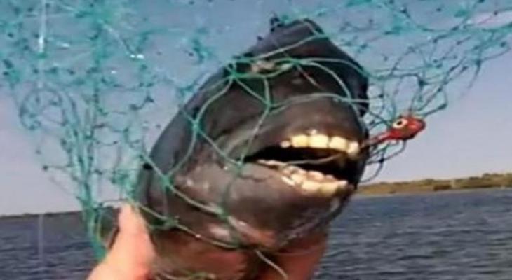 سمك اسنانه كأسنان الانسان.jpg