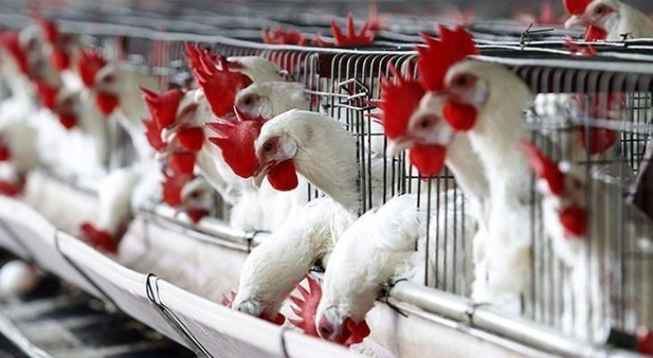 دجاج.jpeg