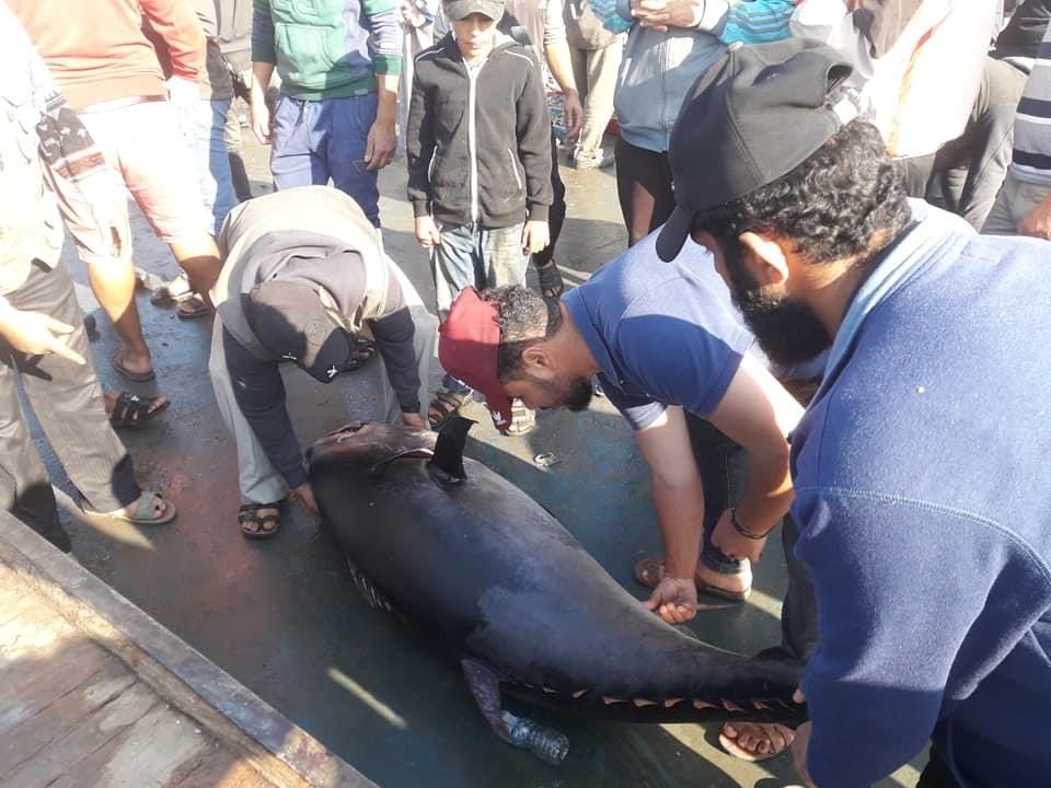 سمكة عملاقة بحر غزة2.jpg