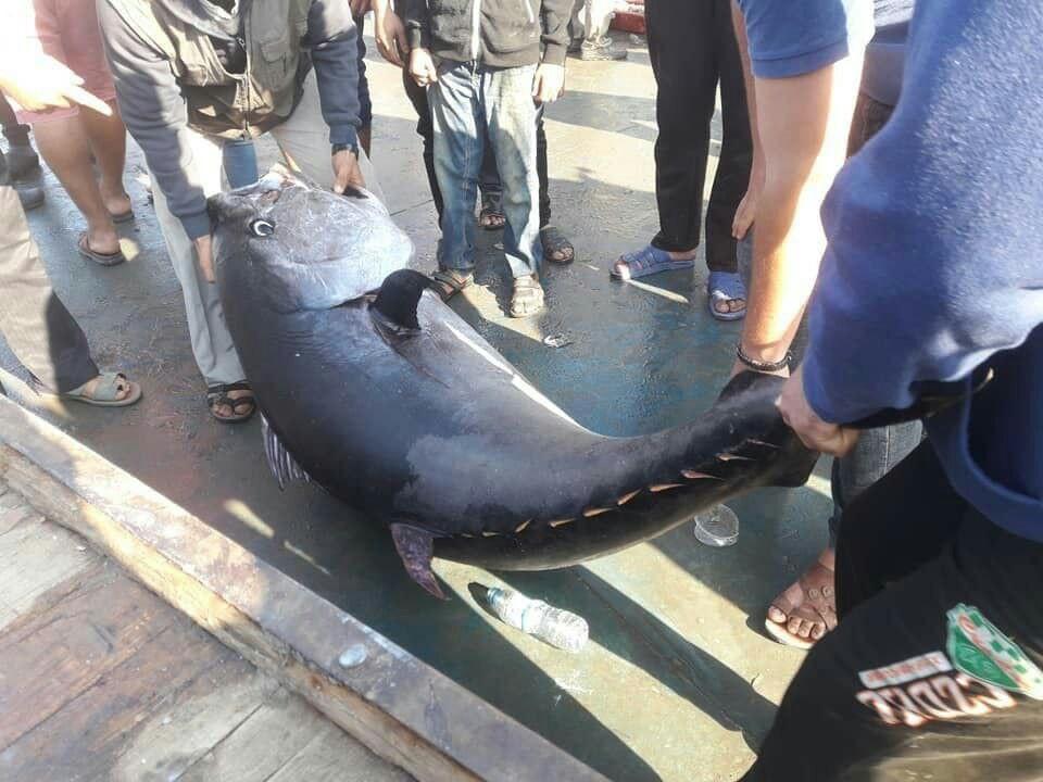 سمكة عملاقة بحر غزة.jpg