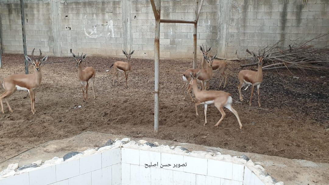 تربية الغزلان بغزة علاء الدين الاعرج3.jpg