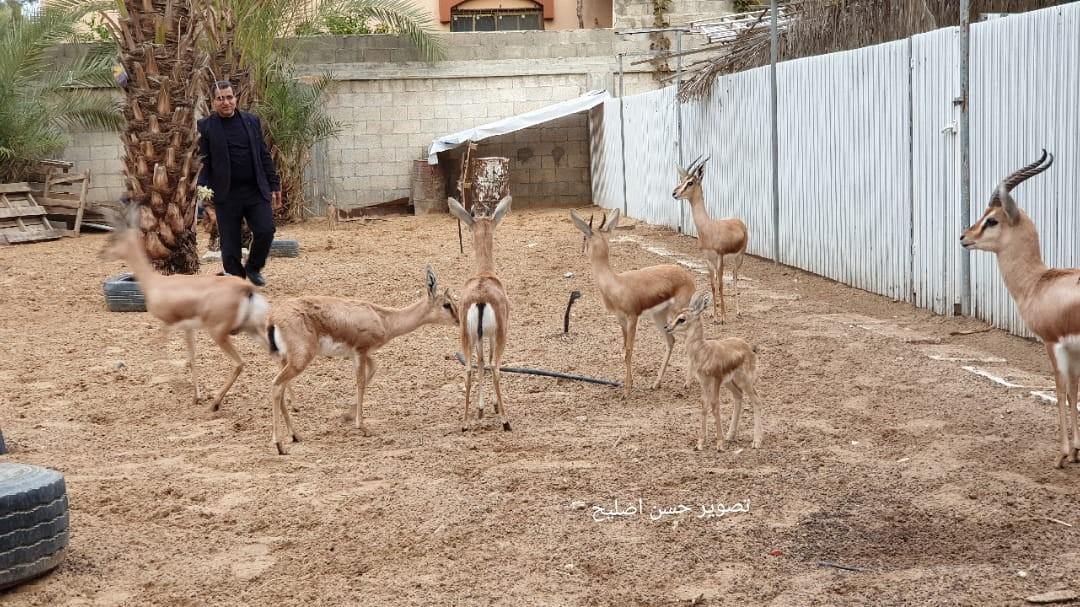 تربية الغزلان بغزة علاء الدين الاعرج1.jpg