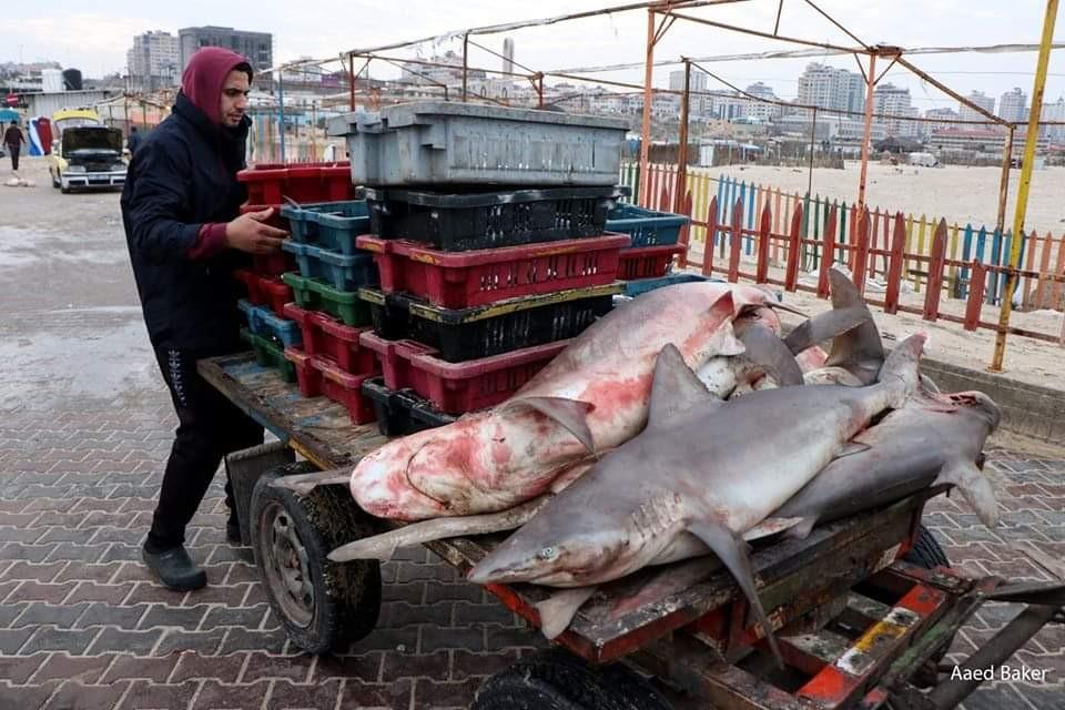 اسماك قرش بحر غزة2.jpg