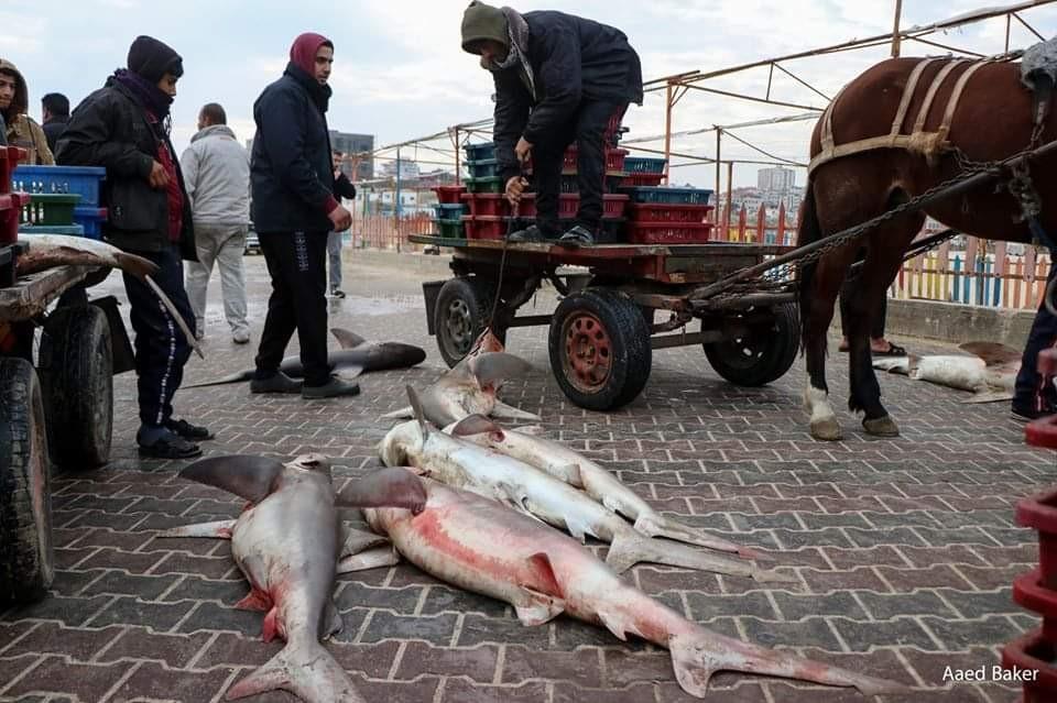 اسماك قرش بحر غزة1.jpg