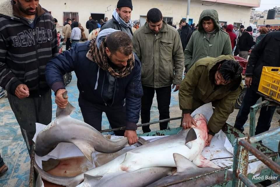 اسماك قرش بحر غزة3.jpg