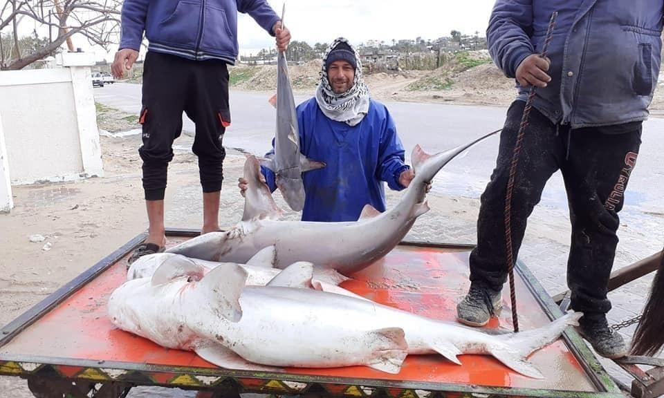 اسماك غزة5.jpg